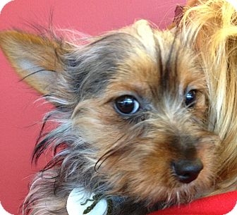 Silky Terrier Puppy for adoption in Fairview Heights, Illinois - Ella