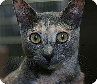 Calico Cat for adoption in Canoga Park, California - Lara (akaGrizzly)