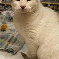 Calico Cat for adoption in Dallas, Texas - OCEANA