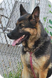 German Shepherd Dog Dog for adoption in Freehold, New Jersey - KIB
