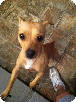 Chihuahua Mix Dog for adoption in Darlington, South Carolina - Miles