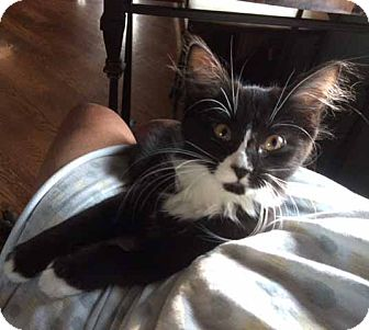 Domestic Shorthair Kitten for adoption in Lombard, Illinois - Tracy