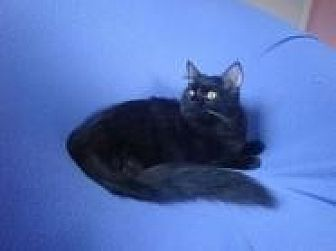 Norwegian Forest Cat Cat for adoption in Sarasota, Florida - Emmie