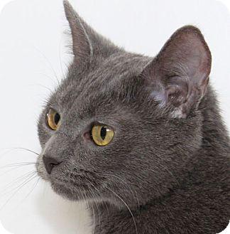 Russian Blue Cat for adoption in Staunton, Virginia - Sparkle