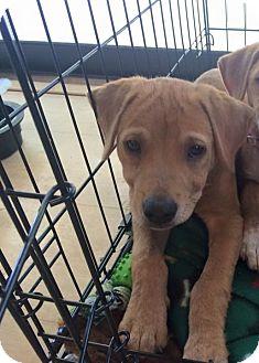 Retriever (Unknown Type) Mix Puppy for adoption in Lakeland, Florida - Nigel