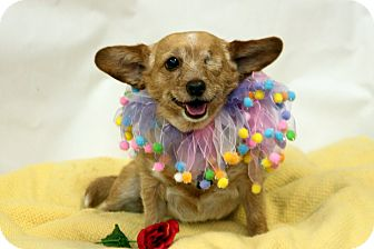 Corgi/Terrier (Unknown Type, Small) Mix Dog for adoption in Fresno, California - Lilly