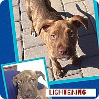 Adopt A Pet :: Lightning - Scottsdale, AZ