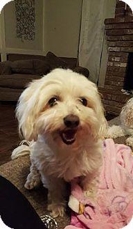 Maltese Dog for adoption in West Warwick, Rhode Island - Rusty