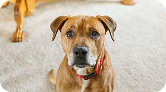 Labrador Retriever/Boxer Mix Dog for adoption in Grand Rapids, Michigan - Hopper