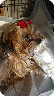 Yorkie, Yorkshire Terrier Dog for adoption in Bloomington, Indiana - Nina