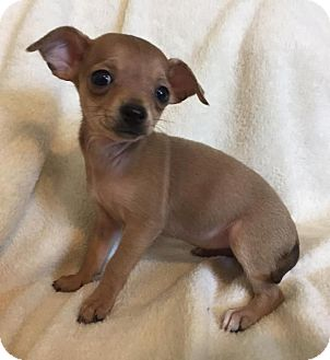 Chihuahua Mix Puppy for adoption in Alabaster, Alabama - Cookie