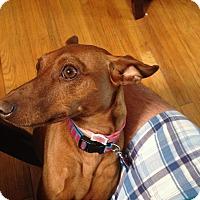 Adopt A Pet :: Cinnamon (COURTESY POST) - Baltimore, MD