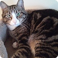 Domestic Shorthair Cat for adoption in Colmar, Pennsylvania - Riley