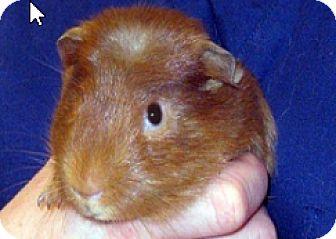 Guinea Pig for adoption in Fullerton, California - *Urgent* Beans