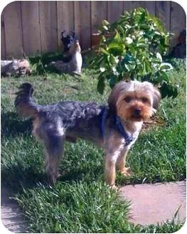Yorkie, Yorkshire Terrier Puppy for adoption in Orange, California - Taylor