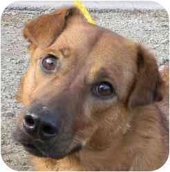 Shepherd (Unknown Type) Mix Dog for adoption in Kansas City, Missouri - Courtesy List-Velma {Urgent}