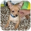 Photo 3 - Chihuahua Puppy for adoption in Troy, Michigan - Jack