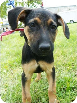 Shepherd (Unknown Type) Mix Puppy for adoption in Detroit, Michigan - Vida-adopted!