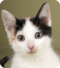 Calico Kitten for adoption in Chicago, Illinois - CC