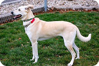 German Shepherd Dog/Labrador Retriever Mix Dog for adoption in Meridian, Idaho - Jewel