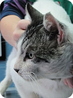 Domestic Shorthair Cat for adoption in Morristown, New Jersey - One Eyed Jack
