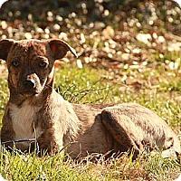 Adopt A Pet :: Bambi ($200 adoption fee) - Brattleboro, VT