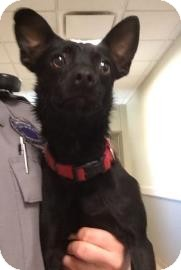 Chihuahua Mix Dog for adoption in Lewisville, Texas - Lobo