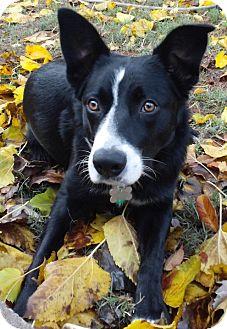 Border Collie Mix Dog for adoption in Corning, California - JoJo