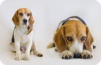 Beagle Dog for adoption in Redding, California - Angus