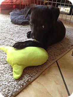 Terrier (Unknown Type, Medium)/Labrador Retriever Mix Puppy for adoption in Las Vegas, Nevada - Dorothy's Pup 7