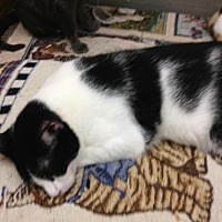 Domestic Shorthair Cat for adoption in Fresno, California - Azon
