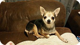 Chihuahua Dog for adoption in Yukon, Oklahoma - Travis