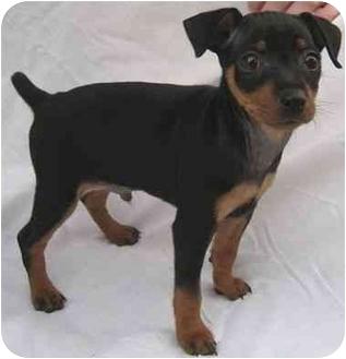 Miniature Pinscher Puppy for adoption in House Springs, Missouri - Emmet