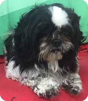 Shih Tzu Dog for adoption in Lebanon, Missouri - Hermes
