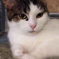 Domestic Shorthair Cat for adoption in Hartford City, Indiana - Ruby