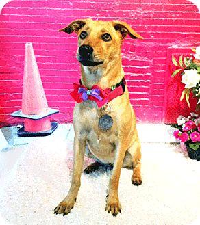 Labrador Retriever Mix Puppy for adoption in Castro Valley, California - Feather
