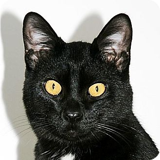 Bombay Cat for adoption in Port Angeles, Washington - Kona