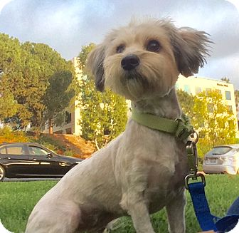 Maltese/Yorkie, Yorkshire Terrier Mix Dog for adoption in Mission Viejo, California - Sally