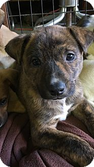 German Shepherd Dog/American Bulldog Mix Puppy for adoption in Carson, California - CARSON