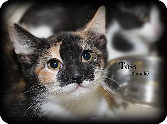 Calico Kitten for adoption in Springfield, Pennsylvania - Tess