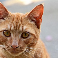 Adopt A Pet :: Cheezit - Washington, GA