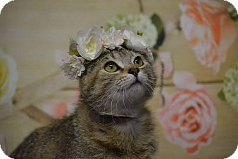 Domestic Shorthair Cat for adoption in Rockwood, Tennessee - BERNADETTE