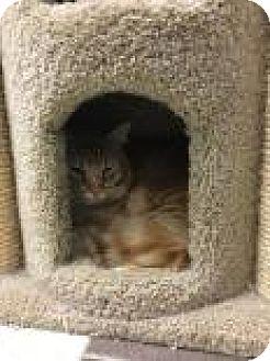 Domestic Shorthair Cat for adoption in Columbus, Georgia - Sampson 2863