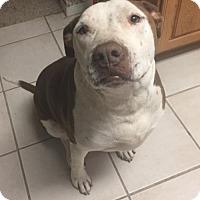 Adopt A Pet :: Ziggy - Albuquerque, NM