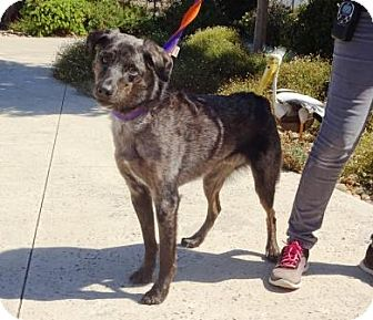 Australian Shepherd Mix Dog for adoption in Lathrop, California - Magnum