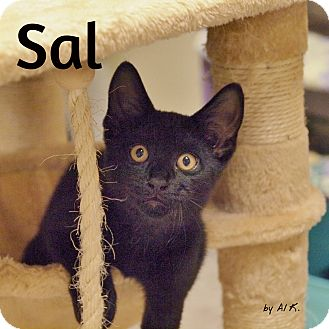 Domestic Shorthair Kitten for adoption in Ocean City, New Jersey - Sal
