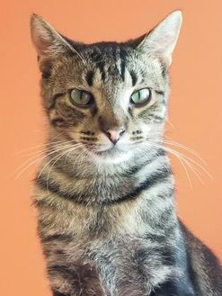 Domestic Shorthair/Domestic Shorthair Mix Cat for adoption in Elkhorn, Wisconsin - Gordy-FIV+