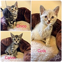 Adopt A Pet :: Chico, Calvin and Cola - Bloomsburg, PA