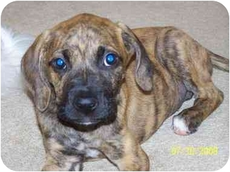 Plott Hound/Boxer Mix Puppy for adoption in Marietta, Georgia - Penelope