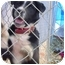 Photo 2 - Border Collie/Australian Cattle Dog Mix Dog for adoption in Poland, Indiana - Becky